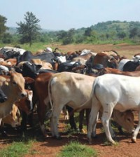 Herd-of-cattle